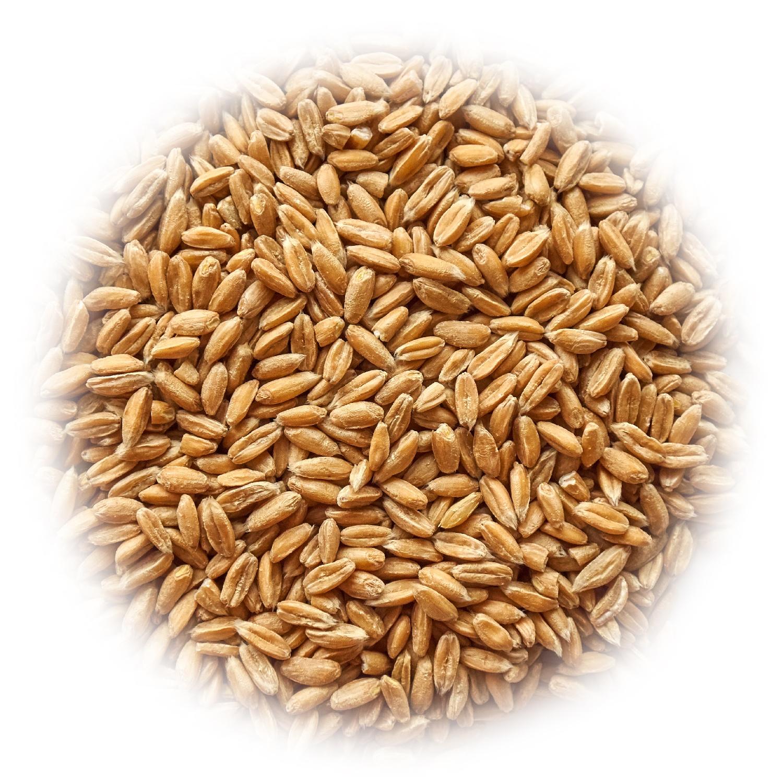 Полба пшеницы